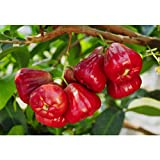 Wax Jambu/Wax Apple Tropical Fruit Trees 3-4 Feet Height in 3 Gallon Pot #BS1