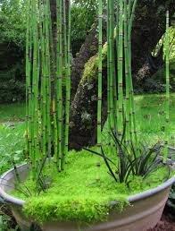 100+ x Horsetail Reed Pond Plants bamboo Looking Zen Garden