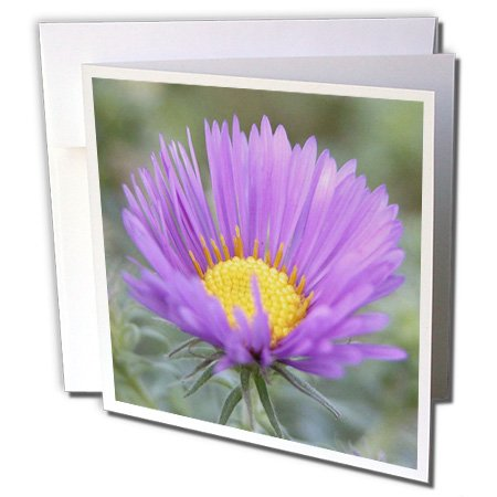 Beverly Turner Photography - Single New England Aster - 6 Greeting Cards with envelopes (gc_11587_1) Aster Single Cards