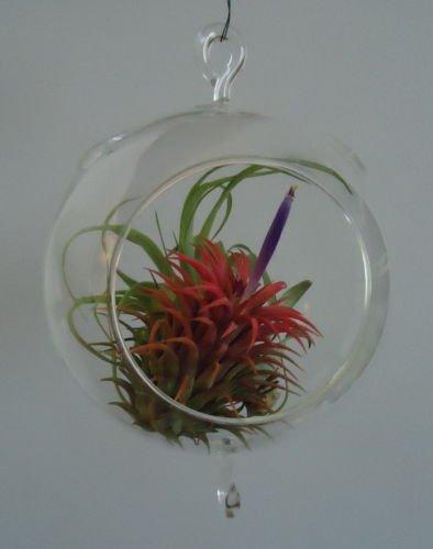 5.5 Glass Plant Orb Terrarium Double Hook