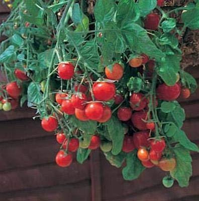 (Tumbling Tom Red Tomato Seeds)