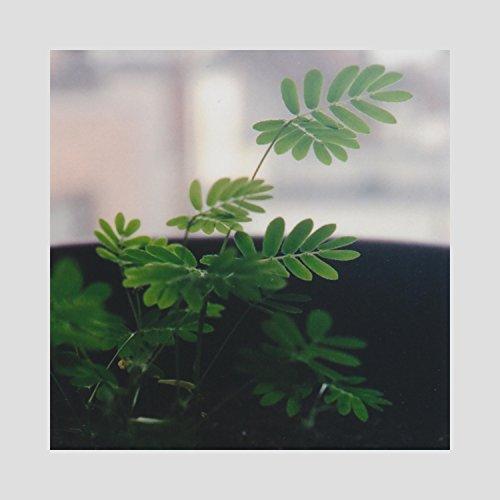 (Music for Mimosa Pudica & Codariocalyx)