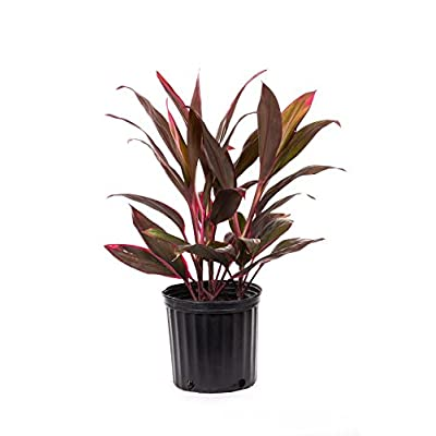 AMERICAN PLANT EXCHANGE Cordyline Red Sister Ti Live Plant, 3 Gallon, Hot Pink : Garden & Outdoor