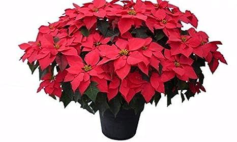 Come Curare La Stella Di Natale In Vaso.Pianta Natalizia Vera Ornamentale Stella Di Natale In Vaso Pendulo O