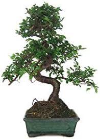 Zelkova Parvifolia 6 Ans Amazon Fr Jardin