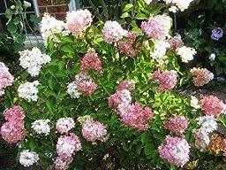 review image - Vanilla Strawberry Hydrangea