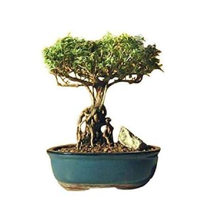 Cutdek Bonsai Flowering Tree Plant Mount Fuji Serissa with Raised Roots Indoor Hoosepla: Garden & Outdoor