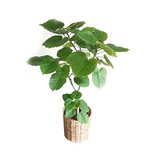 フィカス ウンベラータ ゴムの木 ナチュラル鉢カバー付 観葉植物 中型 大型 インテリア ウランベータ B01N3M13FA