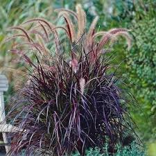 50 Seeds Perennial Fountain Grass Pennisetum Setaceum Fireworks Seeds Pennisetum Seed
