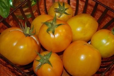 David's Garden Seeds Tomato Slicing Golden Jubilee DGSOM118RN (Gold) 100 Heirloom Seeds