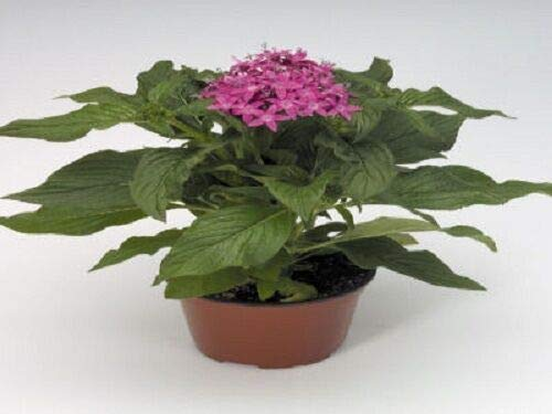 (25 Pelleted Seeds Pentas Kaleidoscope Lilac Pentas Seeds (Star Flower))