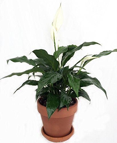 Jmbamboo - Gardens Peace Lily Plant in 4