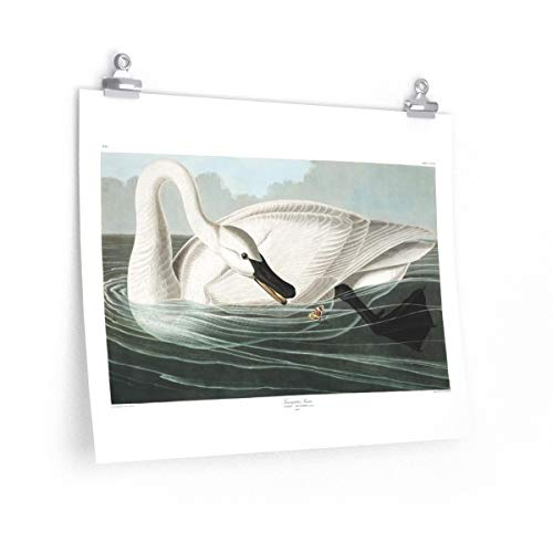 Camp & Craft Trumpeter Swan Premium Matte Print - Birds of America Audubon Wall Art Poster Birding Gift ()