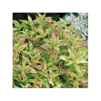 "Weigela-My-Monet-Sunset - 8"" Jumbo Pot (Shrub) : Garden & Outdoor"