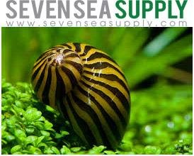 SevenSeaSupply 3 Zebra Nerite Fresh Water Aquarium Snails by SevenSeaSupply