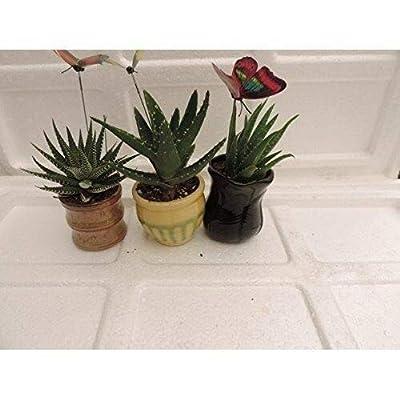 "AchmadAnam - Live Plant 3 Different Aloe Plants - Easy to Grow/Hard to Kill! - 3""Ceramic Pots Garden New : Garden & Outdoor"