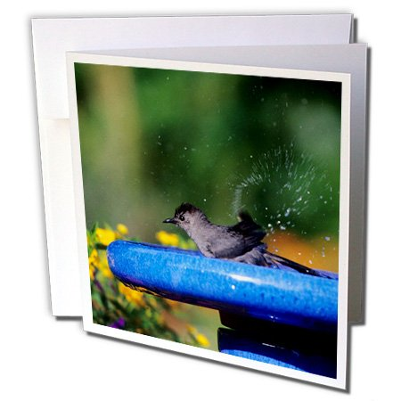 3dRose Danita Delimont - Catbird - Gray Catbird bathing in bird bath near flower garden, Illinois - 1 Greeting Card with envelope (Near Bath)