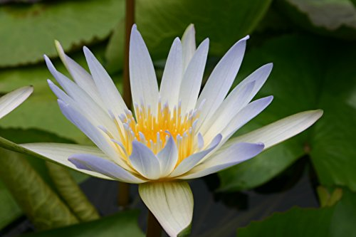 BLUE WATER LILY DAUBEN, SOLD AS: BARE ()