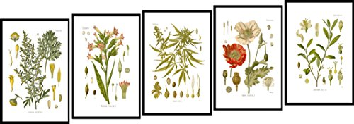 Print Poppy Framed Set - Ink Inc. Psychoactive Plants Botanical Drawings Vintage Art Print, White Background, Set of 5, Matte, 8x10in, Unframed, Cannabis Coca Opium Poppy Tobacco Wormwood