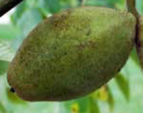 Butternut White Walnut Tree Edible nut Tree Seedling Live Plant Cold Hardy