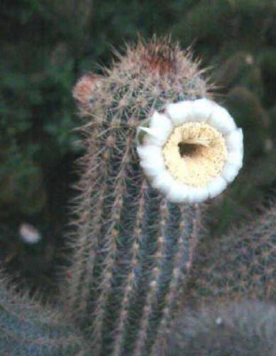 BSNKRY Pilosocereus Gounellei, Rare Cacti Cactus Seed 20 Seeds