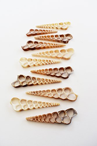 12 Center Cut Turretella Shells Seashells Beach Craft Nautical Decor Hobby Slice Cut Seashells Crafts