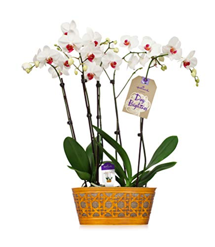 (Orchid Flower Plant, White Double Spike in 10-Inch Yellow Tin Container, From Hallmark Flowers)
