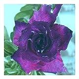 Adenium obesum King Blue Velvet - Karoo rose - Desert rose - Impala lily King Blue Velvet - 3 seeds