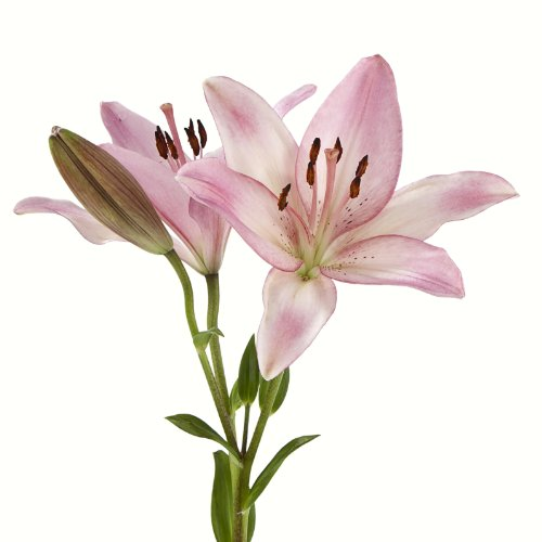 Asiatic Lilies (70 Pink) by eFlowy