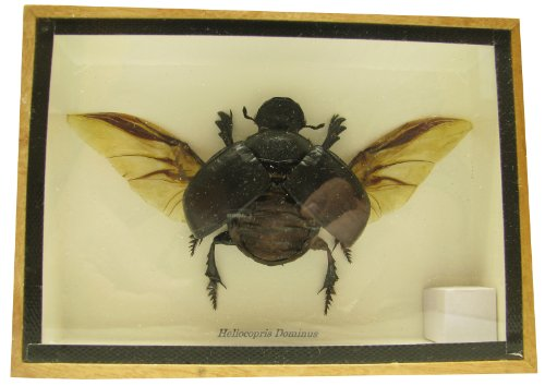 (Real Exotic Elephant Dung Beetle (Heliocopris dominus (Bates, 1868) Open Wings Female – preserved taxidermy insect bug collection framed in a wooden box as pictured)