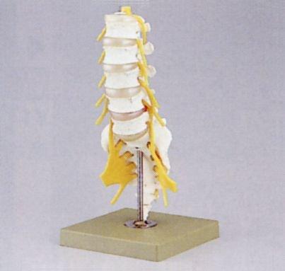 肌触りがいい 腰椎模型(ドイツ ソムソ社製) ソムソ社製) B009RKG6W0 B009RKG6W0, ace-web:e8fc2780 --- a0267596.xsph.ru