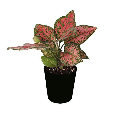 Evergreen Chinese Plant (AMERICAN PLANT EXCHANGE Aglaonema Chinese Evergreen Hot Pink Valentine Live Plants, 6