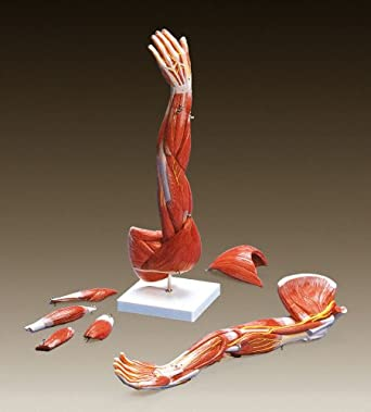 Amazon.com: Muscles of the Arm Anatomical Model: Industrial & Scientific