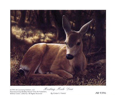 Resting Mule Deer by Crista Forest - 6x5 Inches - Art Print Poster