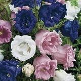 HEIRLOOM CAMPANULA TAKESIMANA CANTERBURY BELLS PERENNIAL FLOWER SEEDS //GIFT 40