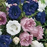 50+ Heirloom Double Campanula Canterbury Bells Perennial Flower Seeds Mix