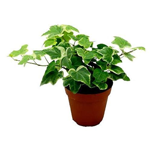 Plantsguru English Ivy Variegated Live Plant