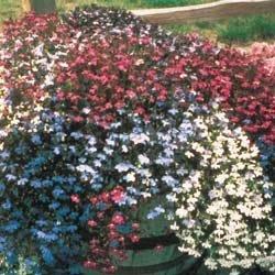 Lobelia Fountain - Mixed Nice Garden Flower By Seed Kingdom BULK 20,000 Seeds