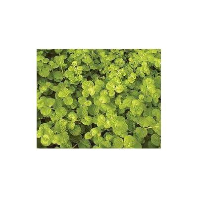 "Creeping jenny Lysimachia nummularia Aurea Live Plant 4"" Groundcover : Garden & Outdoor"