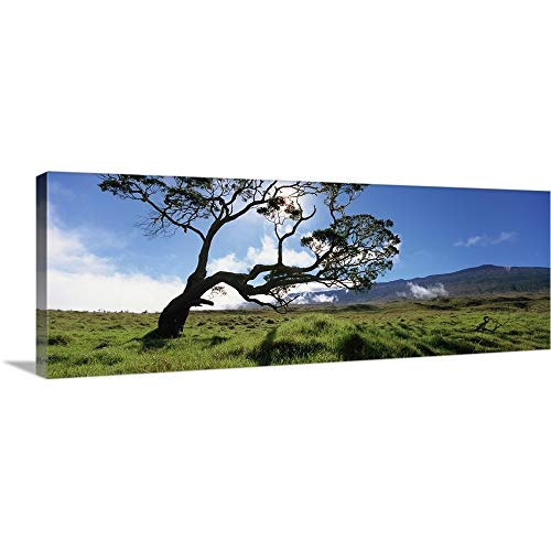 GREATBIGCANVAS Gallery-Wrapped Canvas Entitled Koa Tree on a Landscape, Mauna Kea, Big Island, Hawaii by 90