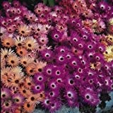 Mesembryanthemum - Magic Carpet - 1500 Seeds