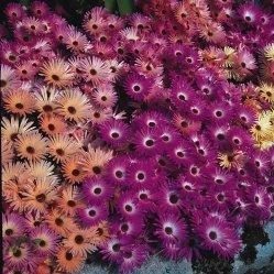 1500 Seeds (Mesembryanthemum - Magic Carpet - 1500 Seeds)