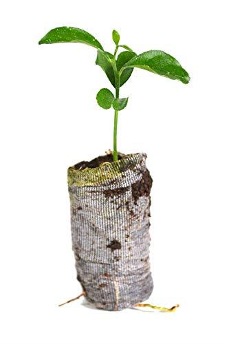 (3 Valencia Orange Tree Live Plants Citrus Sinensis Starter Plugs Small Plant)
