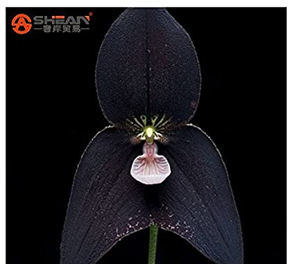 Amazon pretty rare black monkey face orchid plant seed patio pretty rare black monkey face orchid plant seed patio and garden plants potted flowers orchids seeds mightylinksfo