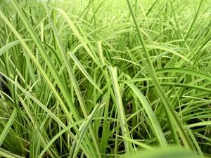 1 Gallon Plant, Grass: 'Ogon' Sweet Flag, Upright Foliage with Green and (Japanese Sweet Flag)