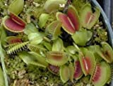 Venus Fly Trap 20 Seeds - Dionaea - Carnivorous - RARE