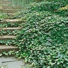 Thorndale Hardy English Ivy Groundcover - 300 Bare Root Plants by Thorndale Hardy English Ivy Groundcover (Image #2)