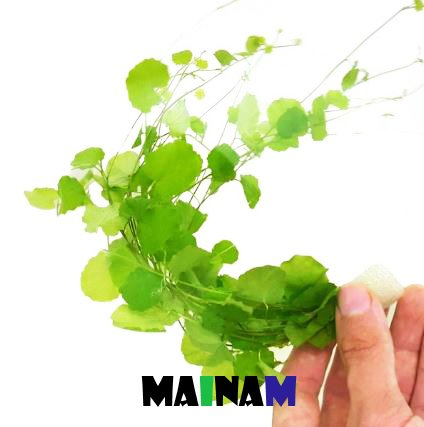 Mainam Cardamine Lyrata   Japanese Cress Easy Live Aquarium Freshwater Plants Decorations 3 Days Live -