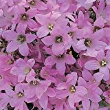 Campanula lactiflora Dwarf Pink 2,000 seeds