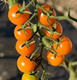 David's Garden Seeds Tomato Cherry Sun Gold D770A (Orange) 25 Hybrid Seeds